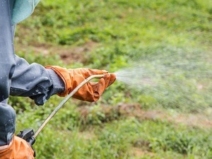 A man is spraying herbicide in fram that has many weed.