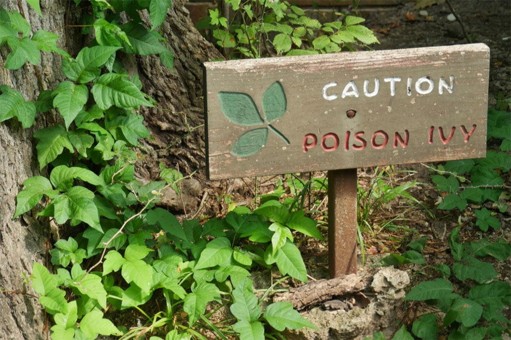 Can Bleach Kill Poison Ivy (How To Kill Poison Ivy With Bleach)